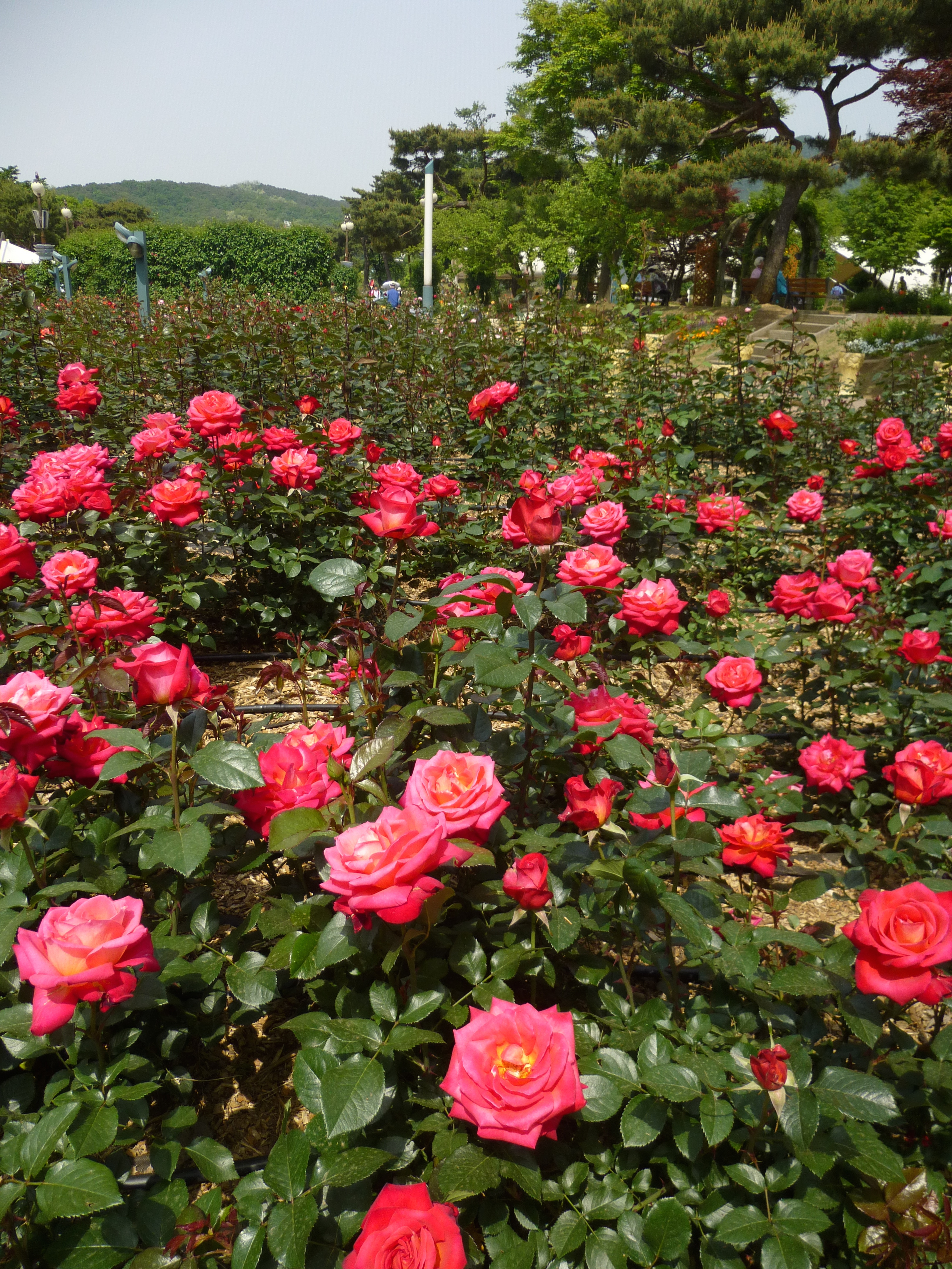 Seoul Grand Park Rose Garden | Koreabridge