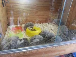 Hedgehogs at Pet Alley